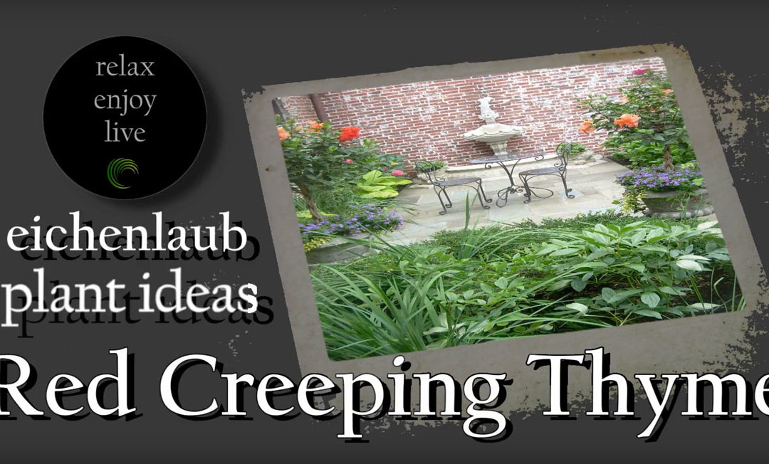 Red Creeping Thyme – Plant Ideas
