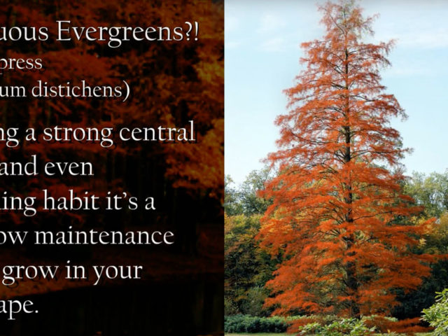 Deciduous Evergreens?! Did i read that correctly?!